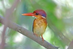 Oriental Dwarf Kingfisher Ceyx erithaca Birds of Thailand Royalty Free Stock Photo