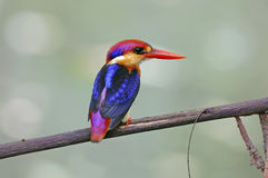 Oriental Dwarf Kingfisher Ceyx erithaca Cute Birds of Thailand Stock Images