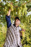 Oriental farmer vintner is harvesting white grape.  Royalty Free Stock Image