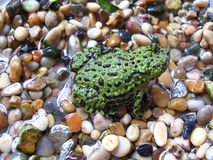 Oriental fire bellied toad. My pet oriental fire bellied toad Stock Images