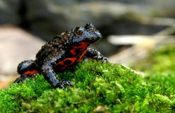 Oriental Fire-bellied Toad Stock Photos