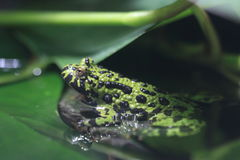Free Oriental Fire-bellied Toad Stock Images - 96554214
