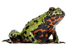 Free Oriental Fire-bellied Toad, Bombina Orientalis Royalty Free Stock Photos - 129911178