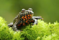 Oriental Fire Bellied Toad Bombina Orientalis Royalty Free Stock Image