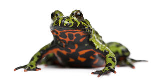 Free Oriental Fire-bellied Toad, Bombina Orientalis Royalty Free Stock Photography - 16562807