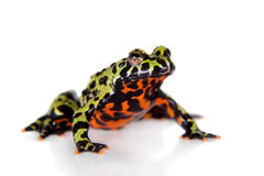 Free Oriental Fire-bellied Toad, Bombina Orientalis, On White Stock Photography - 65793362