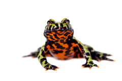 Oriental Fire-bellied Toad, Bombina orientalis, on white Royalty Free Stock Photography