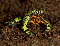 Oriental fire bellied toad defensive pose, china Royalty Free Stock Photos
