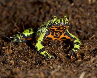 Oriental fire bellied toad defensive pose showing Royalty Free Stock Photography