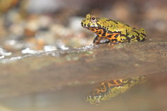 Oriental fire-bellied toad Stock Image