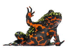 Oriental Fire-bellied Toad waving Stock Photo