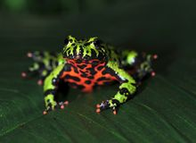 Oriental firebellied toad, china green frog Royalty Free Stock Photo