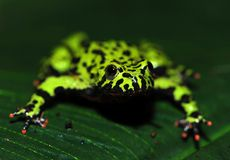 Oriental firebellied toad, china green frog Stock Photography