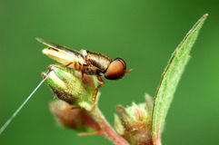 Oriental fruit fly Royalty Free Stock Photography