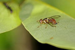 Oriental fruit fly. Is staying on the green leaf Stock Images