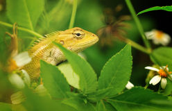 Oriental Garden Lizard. An oriental garden lizard hunting for bugs Stock Photos