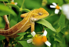 Oriental Garden Lizard Royalty Free Stock Images