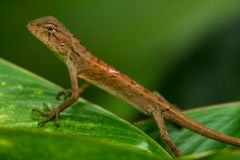 Oriental garden lizard-2 Royalty Free Stock Image