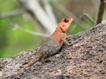 Oriental Garden Lizard Royalty Free Stock Photos
