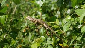 Oriental garden lizard Stock Image