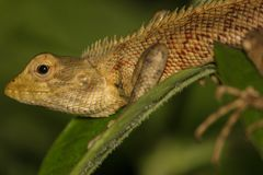 Oriental garden lizard brown in color with red spots resting on a green leaf . royalty free stock image