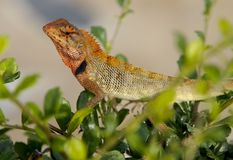 Oriental Garden Lizard, Calotes versicolor Royalty Free Stock Photos