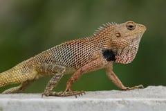 Oriental Garden Lizard Calotes versicolor Close-Up. stock photos