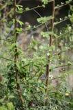 Oriental Garden Lizard - Calotes versicolor stock photography