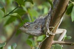 Oriental Garden Lizard - Calotes versicolor stock image
