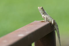 Oriental Garden Lizard. Calotes versicolor perching with green background Stock Image