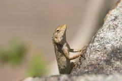 Oriental garden lizard Calotes versicolor Stock Images