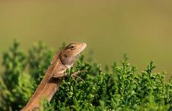 Oriental garden lizard (Chameleon). The Oriental Garden Lizard, Eastern Garden Lizard or Changeable Lizard (Calotes versicolor) is an agamid lizard found widely Stock Photo