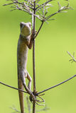 Oriental garden lizard (Chameleon) 4. The Oriental Garden Lizard, Eastern Garden Lizard or Changeable Lizard (Calotes versicolor) is an agamid lizard found Royalty Free Stock Photos