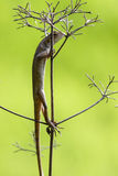 Oriental garden lizard (Chameleon) 7. The Oriental Garden Lizard, Eastern Garden Lizard or Changeable Lizard (Calotes versicolor) is an agamid lizard found Stock Image
