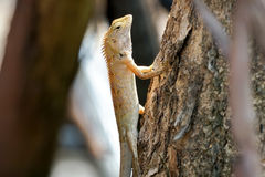 Oriental garden lizard climbing up a big tree Stock Photo