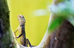 Ancient tropical lizard royalty free stock images