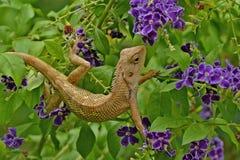 Oriental Garden Lizard, Eastern Garden Lizard or Changeable Lizard Stock Photos