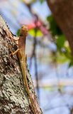Oriental garden lizard, Eastern garden lizard, Changeable lizard. Scientific name: Calotes mystaceus.Climb on the tree with the background naturally Royalty Free Stock Images