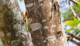 Oriental garden lizard, Eastern garden lizard, Changeable lizard. Scientific name: Calotes mystaceus.Climb on the tree with the background naturally Stock Photos