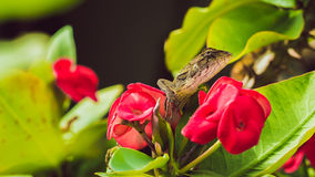 Oriental garden lizard on Euphorbia Beautiful Flower in Thailand. Oriental garden lizard on Red Euphorbia Beautiful Flower in Thailand Royalty Free Stock Images