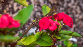 Oriental garden lizard on Euphorbia Beautiful Flower in Thailand. Oriental garden lizard on Red Euphorbia Beautiful Flower in Thailand Royalty Free Stock Photo