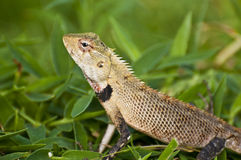 Oriental garden lizard - female. An oriental garden lizard / agamid lizard in the grass Stock Image