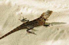 Oriental garden lizard Royalty Free Stock Images