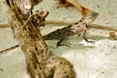 Oriental garden lizard Stock Images