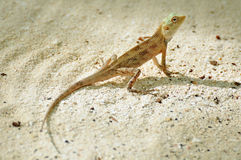 Oriental garden lizard Stock Photo