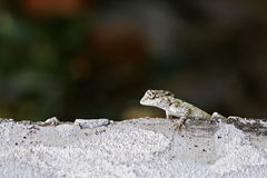 Oriental garden lizard on the floor Stock Photography
