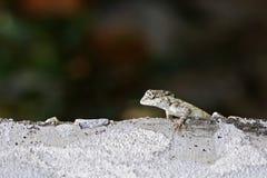 Oriental garden lizard on the floor Stock Photography