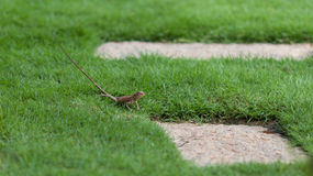 Oriental Garden Lizard on the grass, Vietnam. Tiny young changeable lizard in the garden stock photography
