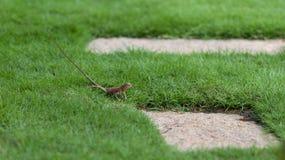 Oriental Garden Lizard on the grass, Vietnam Stock Photography