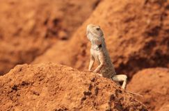 Oriental Garden Lizard In Wild Stock Photography